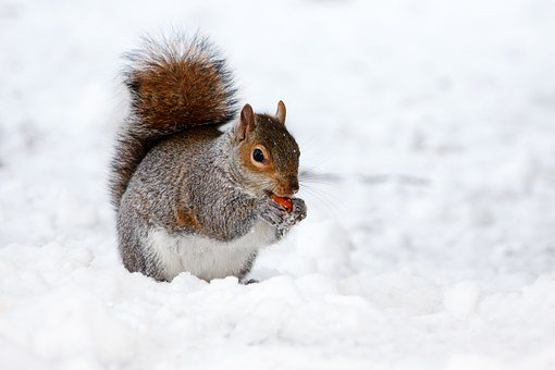 squirrel-17854__340