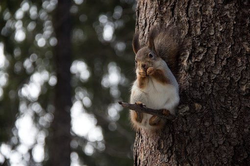 squirrel-2125021__340