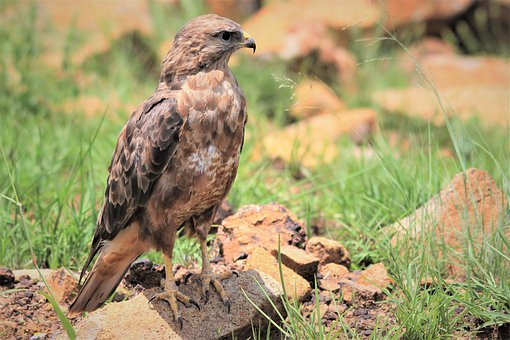 steppe-buzzard-4878166__340