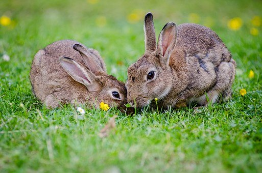 european-rabbits-1006621__340