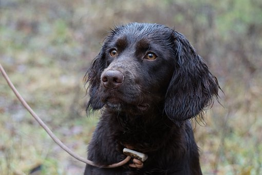german-quail-dog-4905048__340