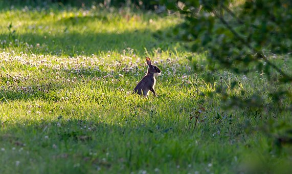 wild-rabbit-in-clover-field-4347396__340