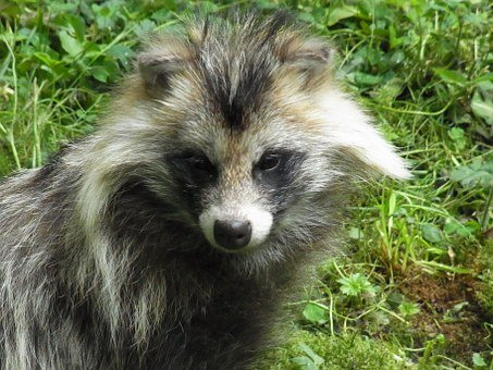 raccoon-dog-54750__340