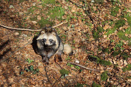 raccoon-dog-707117__340