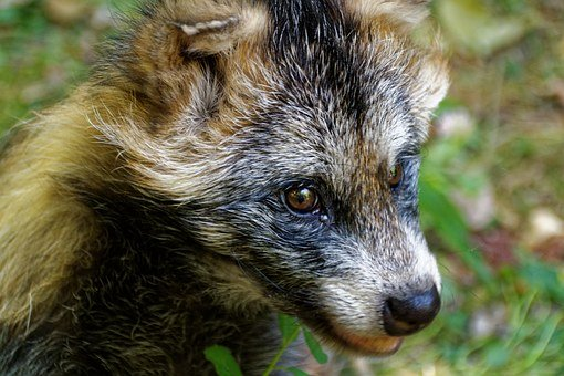 raccoon-dog-871609__340