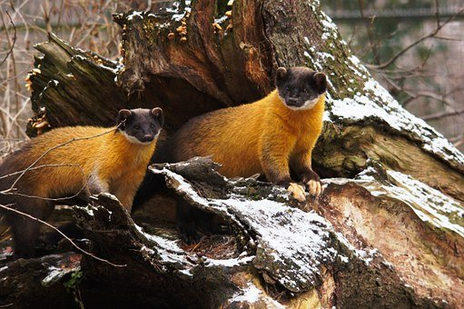 yellow-throated-marten-50358__340