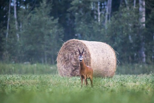european-roe-deer-4834067__340