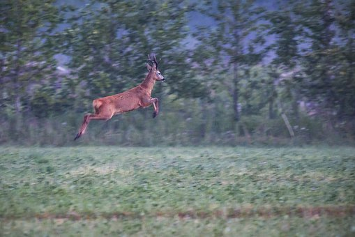 european-roe-deer-4834070__340