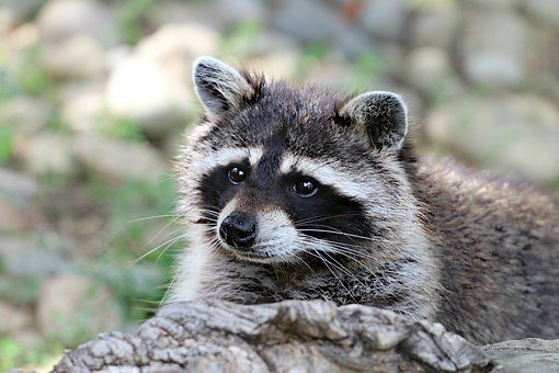 raccoon-1476504__340