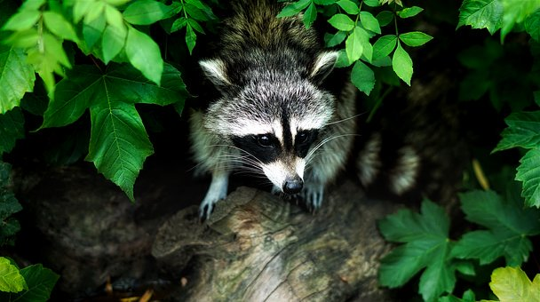 raccoon-1885137__340