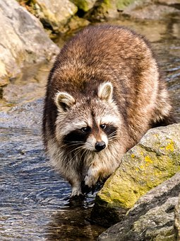 raccoon-2398128__340