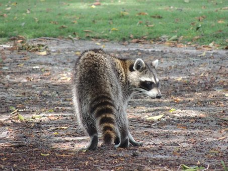 raccoon-3590948__340