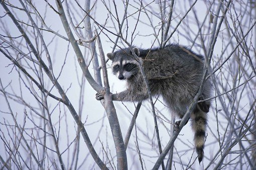 raccoon-386748__340