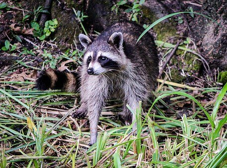 raccoon-439884__340